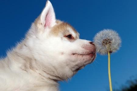 Un cachorro de cute Little de perro husky siberiano al aire libre  Foto de archivo - 7565320