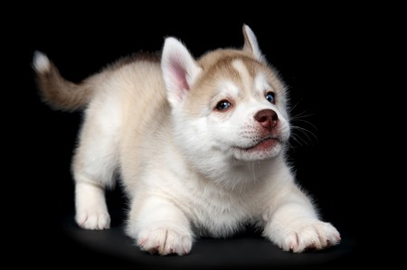 One Little cute puppy of Siberian husky dog in studio over black photo