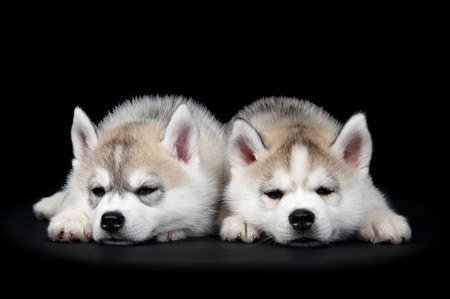 Two Little cute puppy of Siberian husky dog in studio over black photo