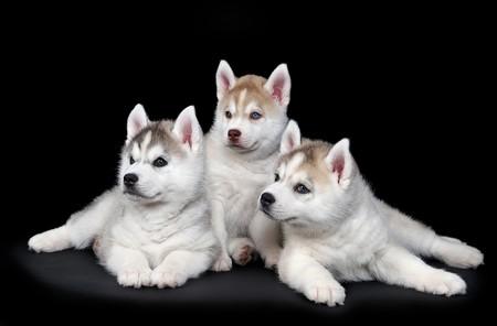 tres cachorro cute Little de perro husky siberiano en estudio sobre negro  Foto de archivo - 7565274