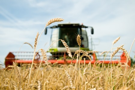 close-up ears of wheat at field and harvesting machine on background. Combine out of focus photo