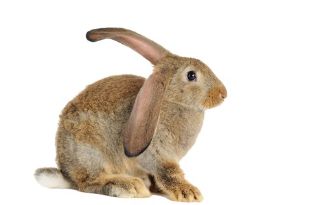 one young brown sitting rabbit bunny with long ears isolated on white photo