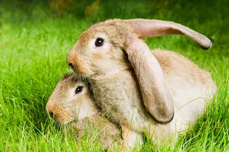 grassy plot: two young light brown rabbits with long ears on green grassy plot