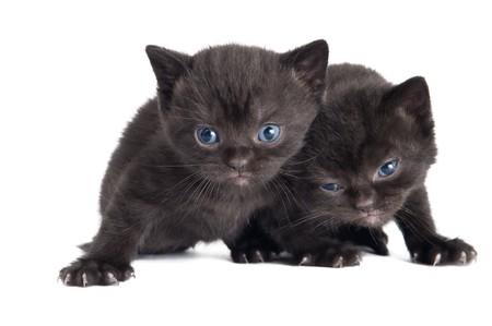 Two black little sitting (lying) british shorthair kittens cat isolated photo
