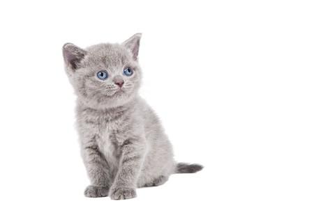 One lying british shorthair kitten cat of blue shade isolated Stock Photo - 7879922