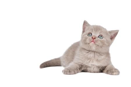 One lying british shorthair kitten cat of blue shade isolated Stock Photo - 7879919