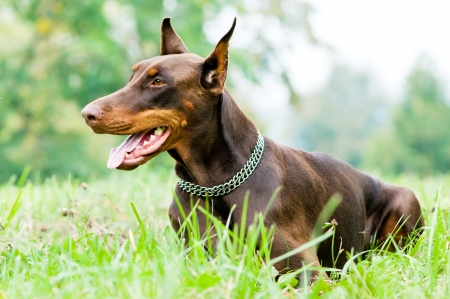 pinscher: Lying purebred brown Doberman pinscher with open mouth outdoors