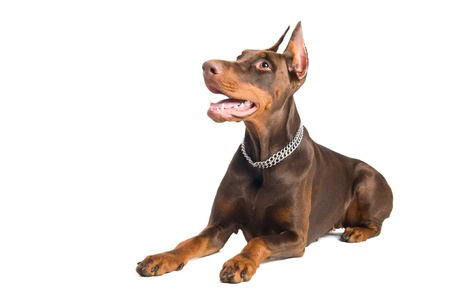 Portrait of lying purebred brown Doberman pinscher with open mouth isolated photo