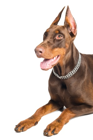 doberman pinscher: Portrait of lying purebred brown Doberman pinscher with open mouth isolated
