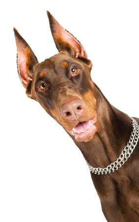 snout: Portrait of purebred brown Doberman pinscher with open mouth isolated