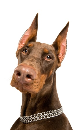 face guard: Portrait of purebred brown Doberman pinscher isolated over white