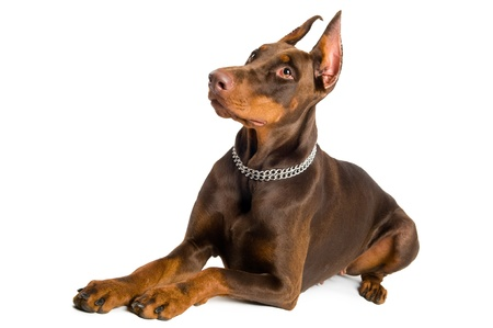 Portrait of lying purebred brown Doberman pinscher isolated over white photo