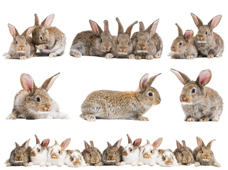 cute rabbit: set of young baby light brown rabbits with long ears isolated on white