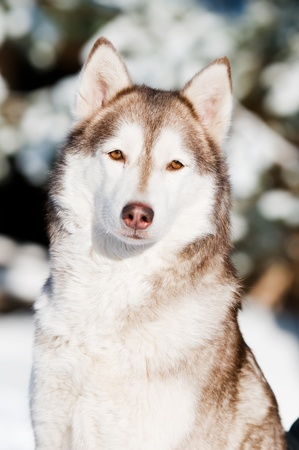 siberian husky: Portrait of adorable young siberian female husky at snowy winter outdoors