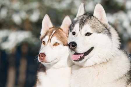 couple of siberian husky dog at sunny winter day photo