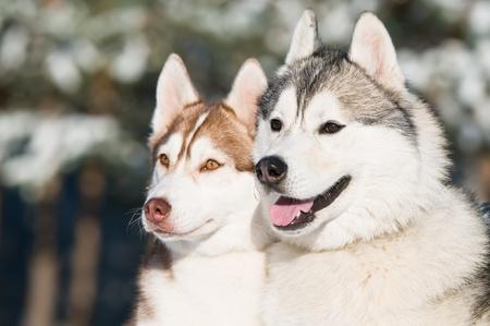 couple of siberian husky dog at sunny winter day photo