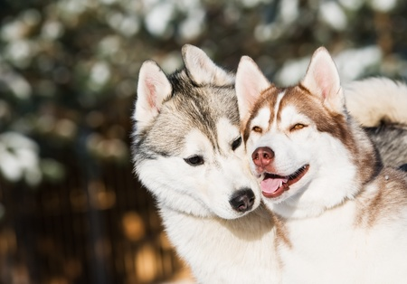 couple of siberian husky dog at sunny winter day Stock Photo - 8398662