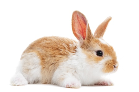 spotted: one young light brown and white spotted rabbits with long ears standing isolated on white
