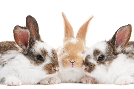 group of three baby light brown rabbits with long ears isolated on white photo