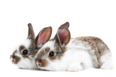 group of two baby white brown rabbits with long ears isolated on white photo