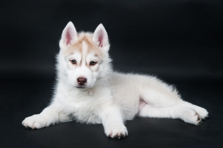 Portrait of little cute white brown puppy of Siberian husky dog over black  Stock Photo - 9234359