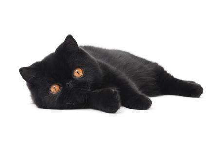 One lying black exotic shorthair kitten cat isolated on white photo