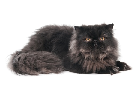 puss: One lying black persian longhair kitten cat isolated on white