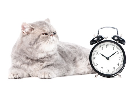 One lying grey exotic shorthair kitten cat isolated on white with clock photo
