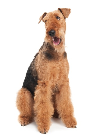airedale terrier dog: One sitting Black brown Airedale Terrier dog isolated on white Stock Photo