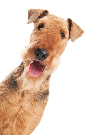 airedale terrier dog: closeup head of Black brown Airedale Terrier dog isolated on white