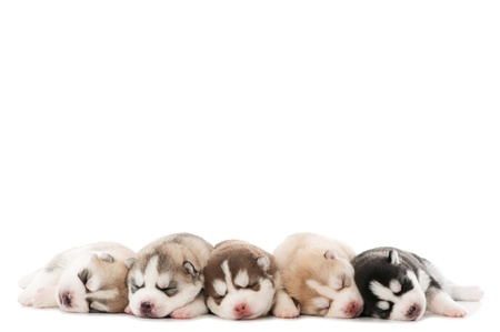 alaskan: five little cute sleeping puppy of Siberian husky dog isolated Stock Photo