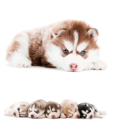 collection of little cute puppy of Siberian husky dog isolated photo