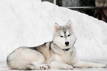 One siberian husky dog lying on snow at winter outdoors photo