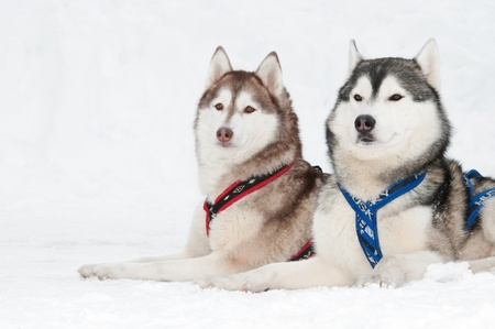 dog sled: two siberian husky sled dog with draught in winter  Stock Photo