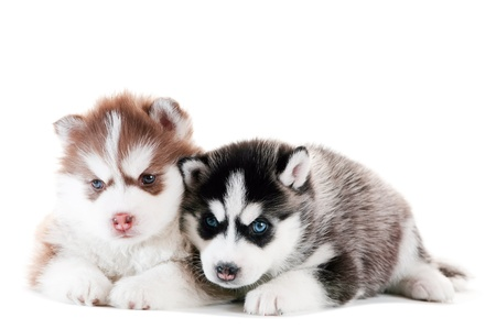 alaskan: two little cute puppy of Siberian husky dog with blue eyes isolated Stock Photo