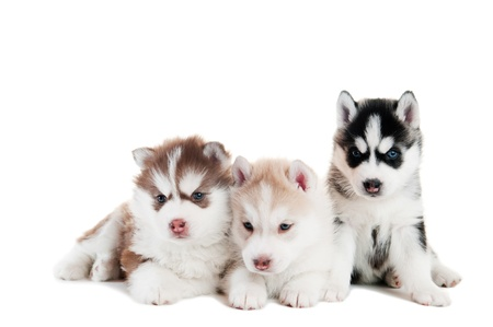 alaskan: three little cute puppy of Siberian husky dog with blue eyes isolated