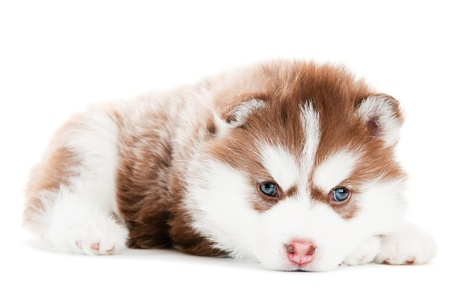 husky: Portrait of little cute brown puppy of Siberian husky dog with blue eyes isolated Stock Photo
