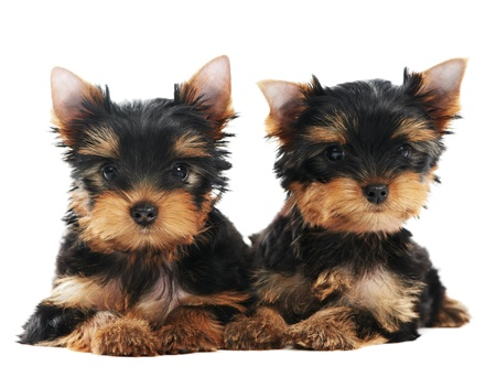 Two Yorkshire Terrier 3 month puppies dog photo