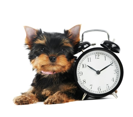 Yorkshire Terrier puppy dog with alarm clock photo