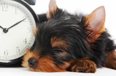 yorkshire: Yorkshire Terrier puppy dog with alarm clock Stock Photo