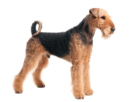 airedale: Airedale Terrier dog isolated Stock Photo