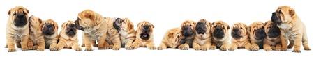brood: brood of sharpei puppies dogs Stock Photo