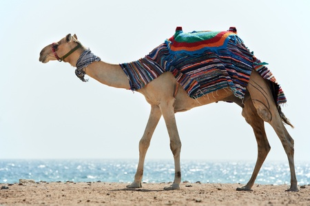 Camel at Red Sea beach photo