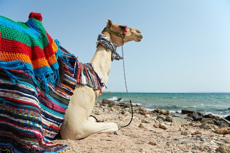 Camel Sitting at Red Sea beach photo