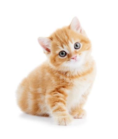rozkošný: Britská krátkosrstá kočka kotě kočka izolovaných