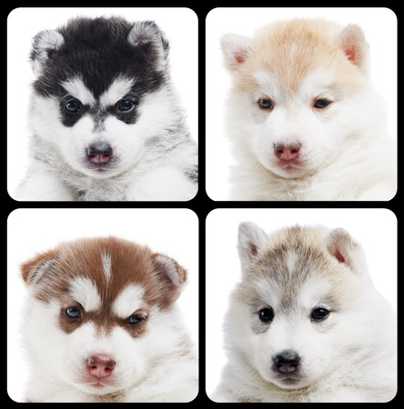 alaskan: set of Siberian husky puppy isolated