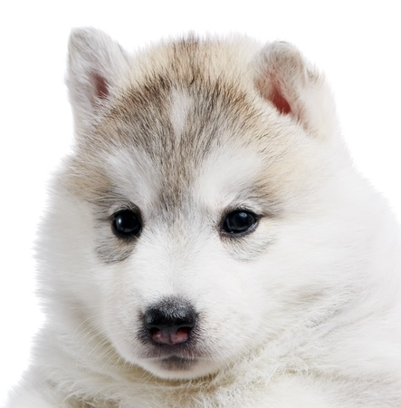 one Siberian husky puppy isolated photo