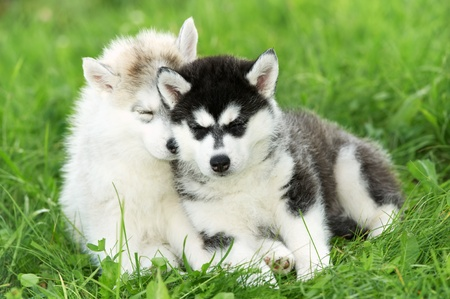 two Siberian husky puppy on grass Stock Photo - 10521407