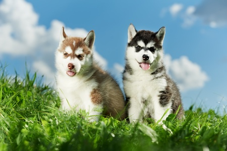 two Siberian husky puppy on grass photo
