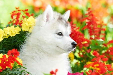 one Siberian husky puppy in flowers photo